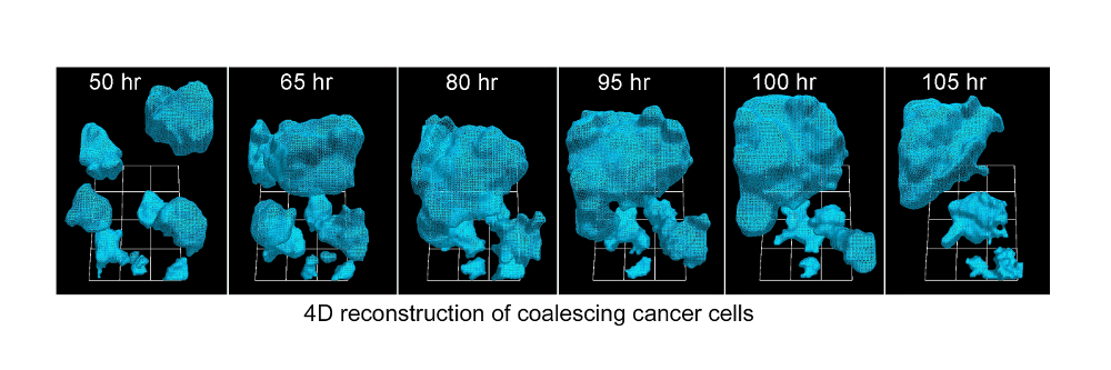 Four-dimensional reconstruction of coalescing cancer cells