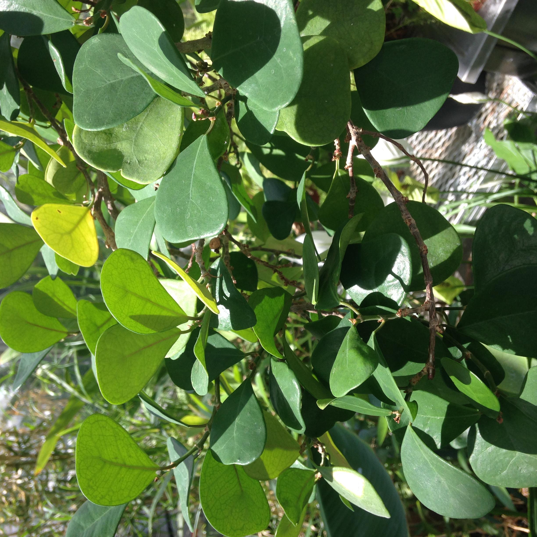 Ficus deltoidea foliage