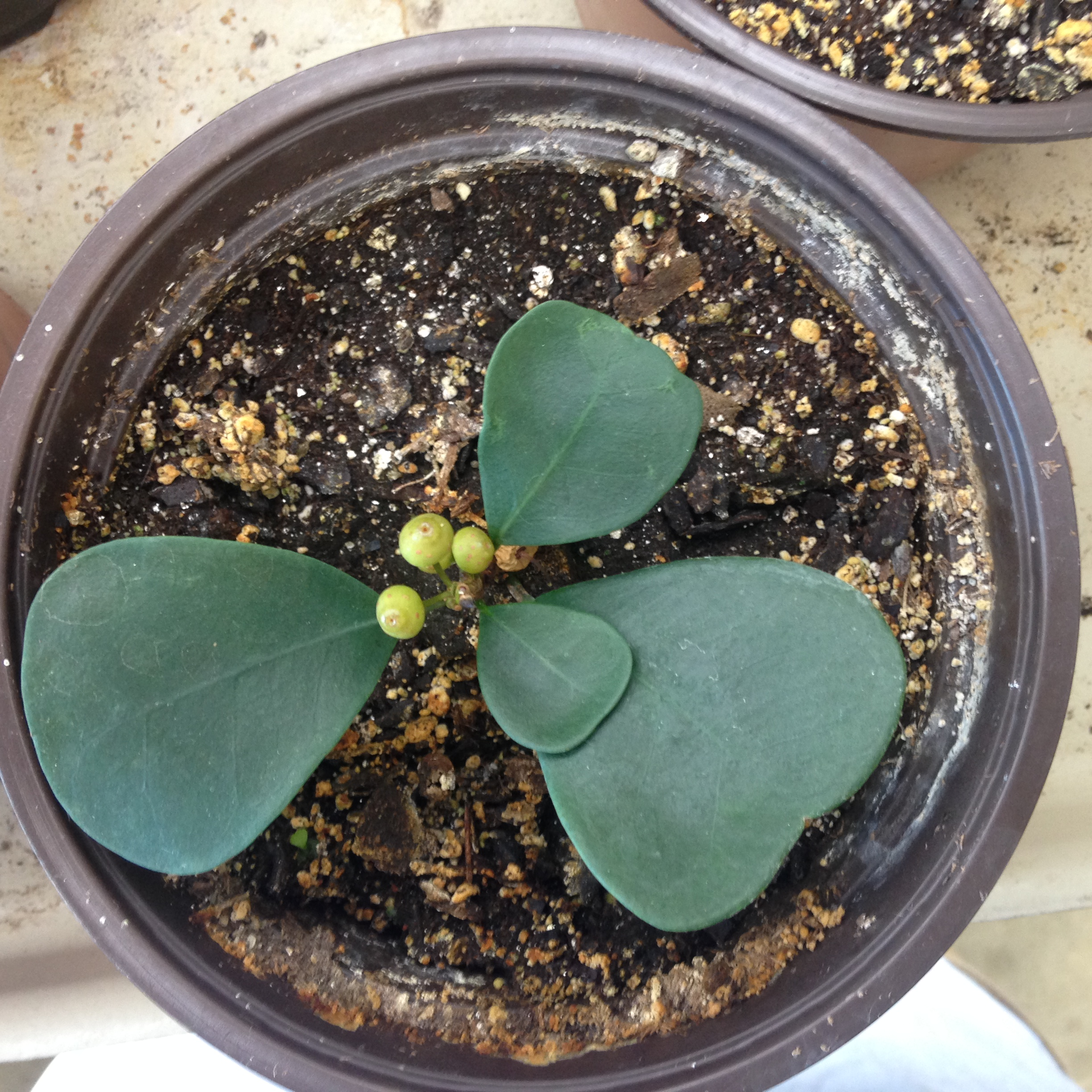 Ficus deltoidea start with seed formed