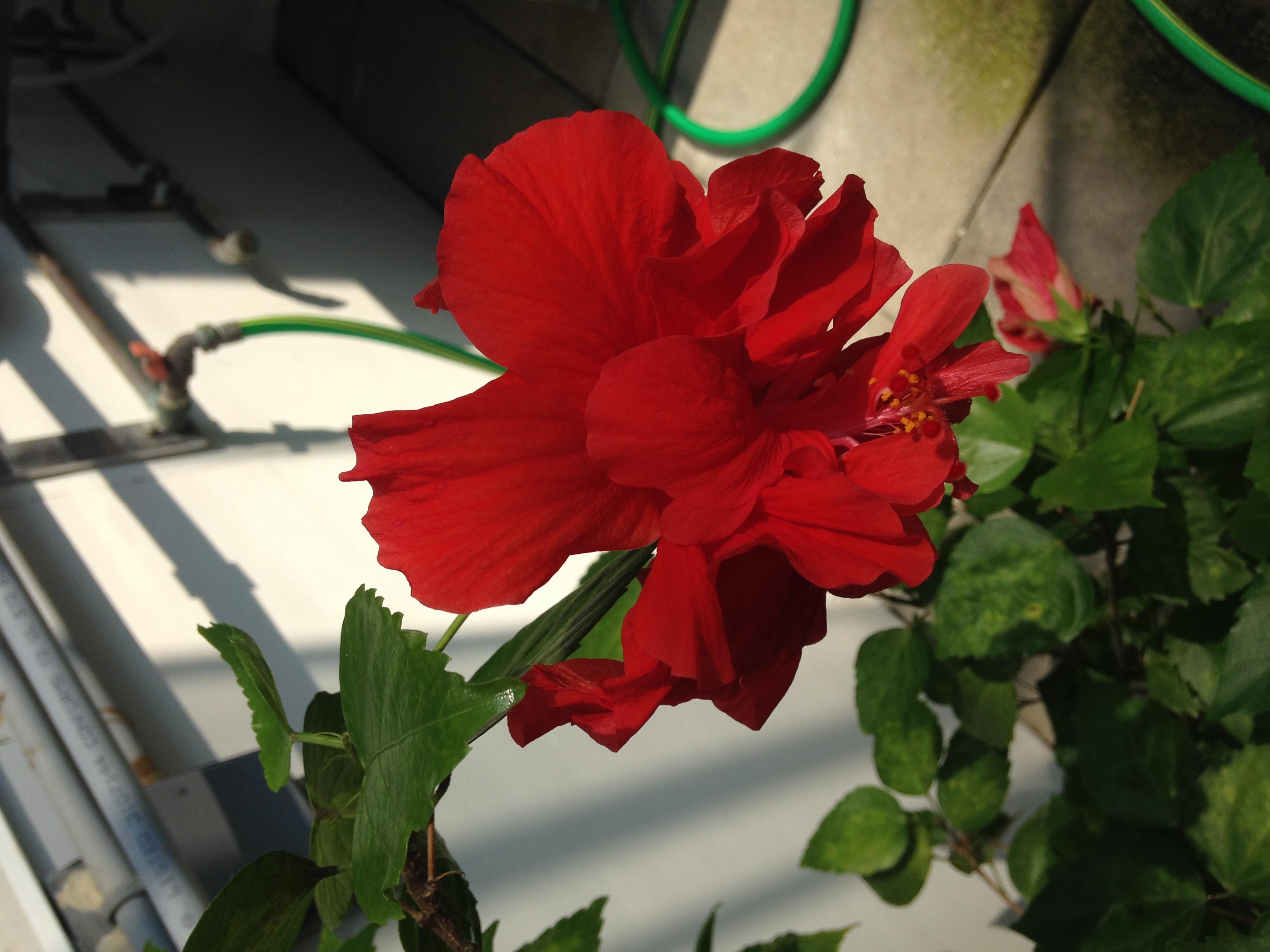 Hibiscus rosa sinensis biology 408 izmirmasajfo