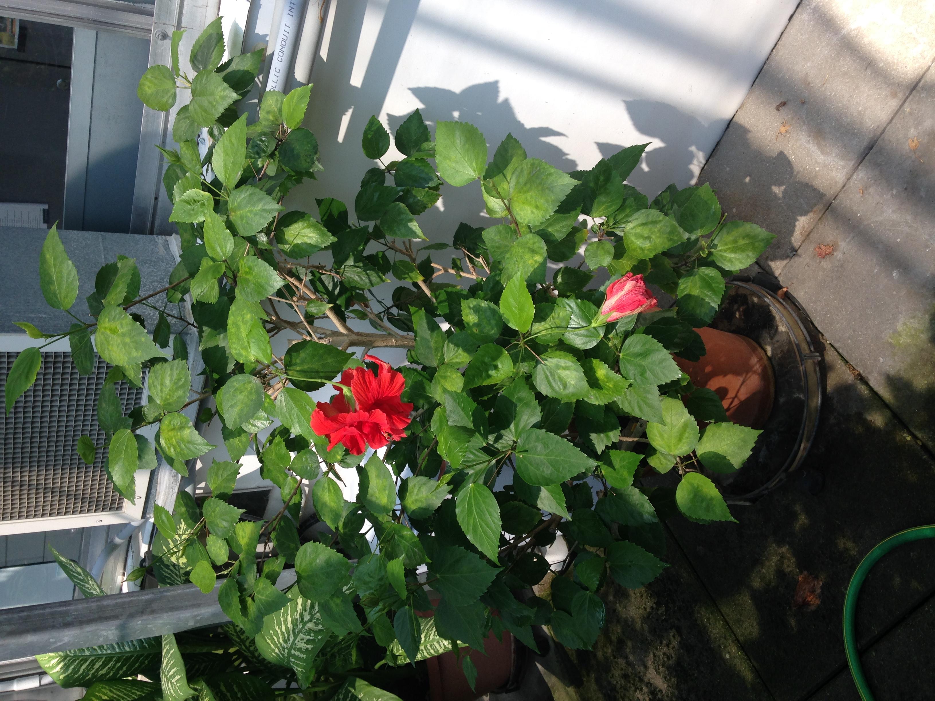 Picture of Hibiscus Rosa-Sinensis plant