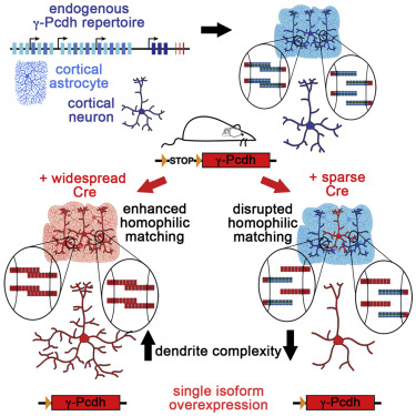 Homophilic γ-Pcdh interactions drive dendrite complexity.