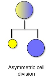 Example of the asymmetric division of a polarized mother cell