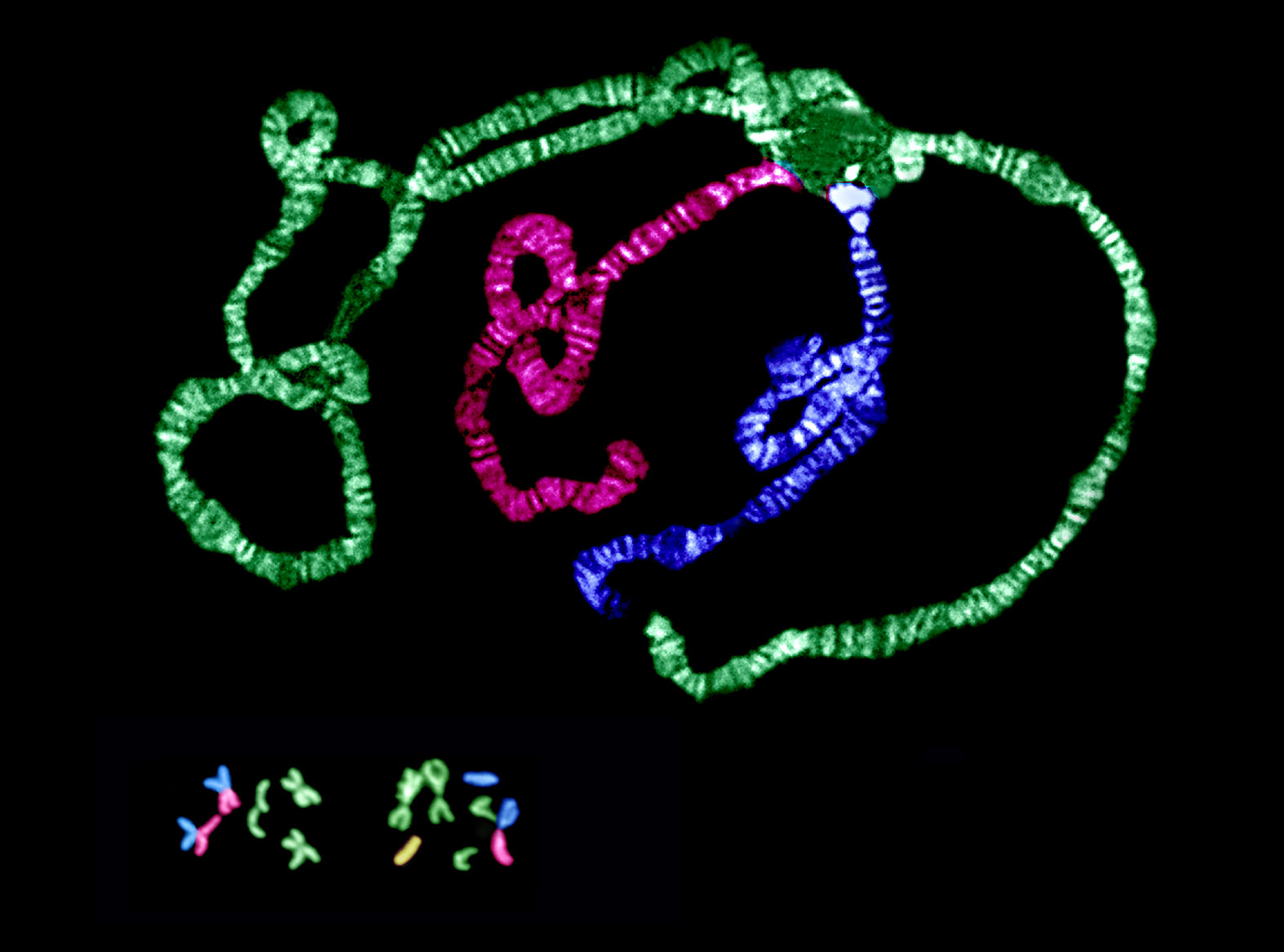 False-colored chromosomes of Drosophila americana.