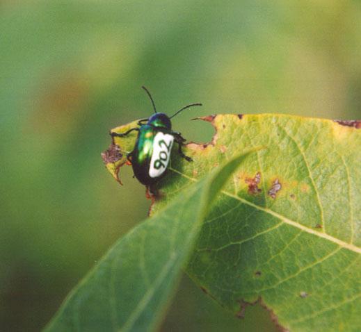 Marked Chrysochus beetle