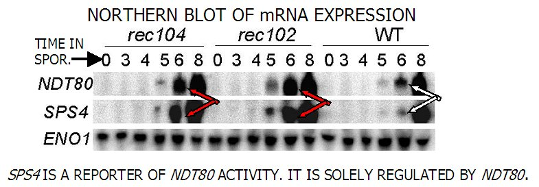NDT80 is a transcription activator of the genes required for the first division.