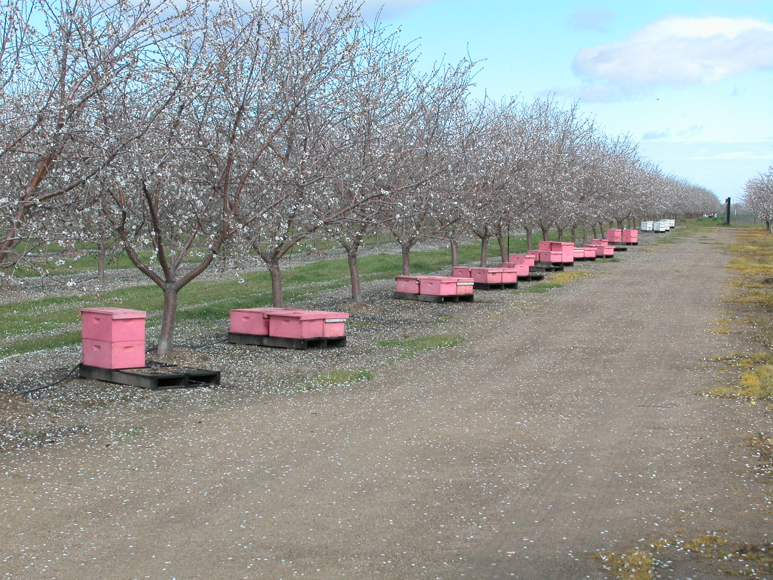 1.5 million honey bee colonies are needed to pollinate almond in CA