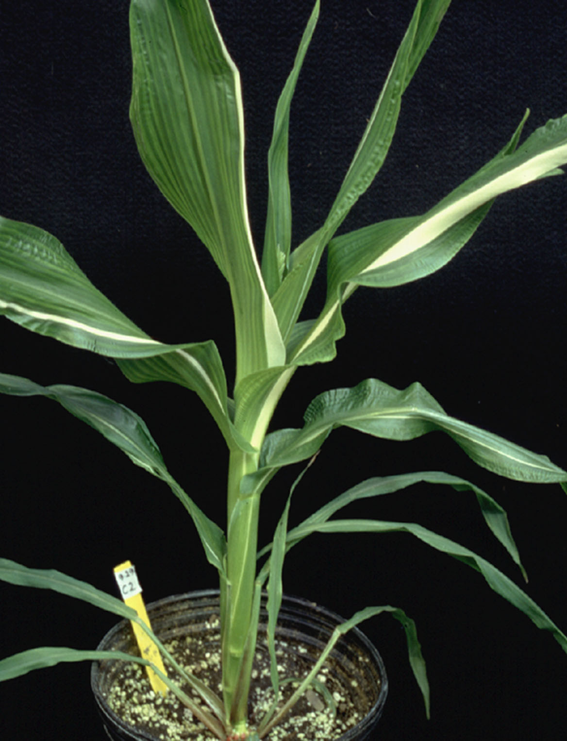 Maize plant derived from a cultured shoot apex that made twice the normal number of leaves (in total).