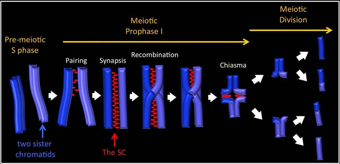 The sequence of events requited for faithful chromosome segregation that take place during meiotic prophase I.