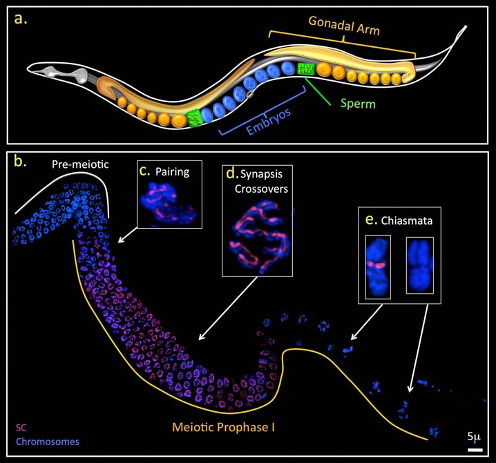 Basic anatomy of C. elegans.