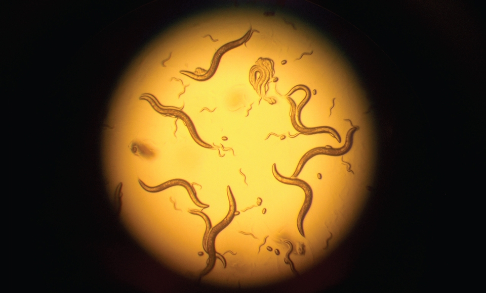 C. elegans under a microscope, provided by the Smolikove Lab.