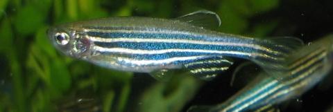 image of a zebrafish