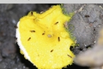 Cover image of flies on a shelf fungus taken at a collecting sites in Louisiana. The image accompanies an article on selection on the Alcohol dehydrogenase gene in Drosophila americana.